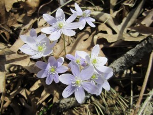 hepatica-flower-horns-ferry-hideaway