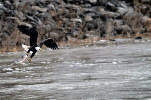 eagle-fish-in-talon-lake-red-rock-horns-ferry-hideaway