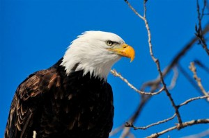 eagle-perched-in-tree-horns-ferry-hideaway