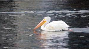pelican-gliding-lake-red-rock-horns-ferry-hideaway