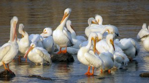 pod-of-pelican-preening-lake-red-rock-horns-ferry-hideaway