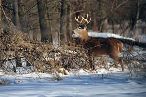 white-tail-buck-lake-red-rock-horns-ferry-hideaway