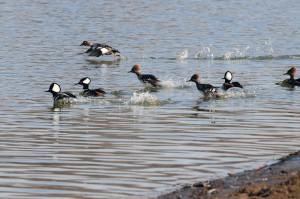 wood-ducks-lake-red-rock-horns-ferry-hideaway